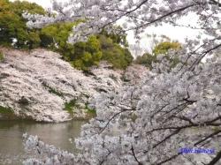 千鳥ヶ淵緑道の桜2