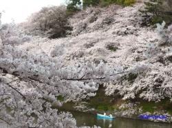 千鳥ヶ淵緑道の桜3