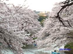 千鳥ヶ淵緑道の桜4