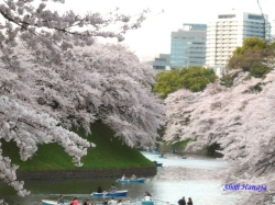 千鳥ヶ淵緑道の桜5_ボート乗り場付近
