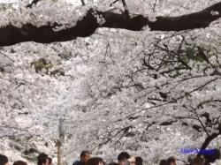 千鳥ヶ淵緑道の桜6