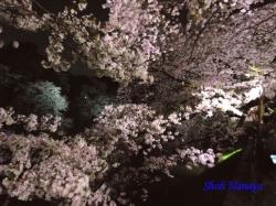 02_千鳥ヶ淵緑道の桜の間より対岸の桜見ゆ