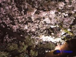 03_千鳥ヶ淵緑道の桜の真下