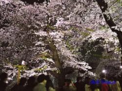 05_千鳥ヶ淵緑道の桜の中の人横から