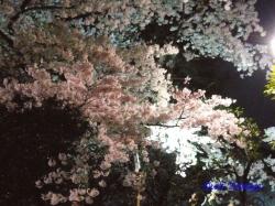 千鳥ヶ淵緑道の桜の枝_08