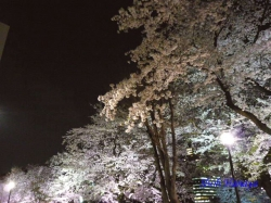 千鳥ヶ淵緑道横の道路側から見上げた桜_10