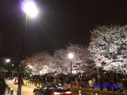 千鳥ヶ淵緑道横の道路側から見た桜_11