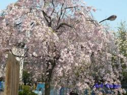 西新井大師池のそばのしだれ桜