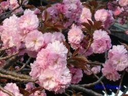 西新井大師鐘楼の横の八重桜