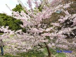 和光樹林公園の桜1
