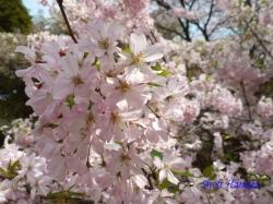 和光樹林公園の桜2