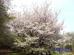 和光樹林公園の桜3