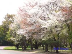 和光樹林公園の桜4