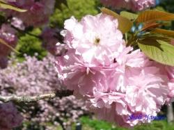 清澄庭園の桜1