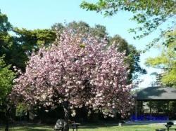 清澄庭園の桜2
