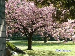 清澄庭園の桜3