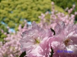 清澄庭園の桜4