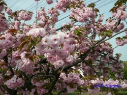 足立区道端の桜1