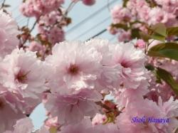 足立区道端の桜2