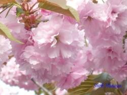 足立区道端の桜3