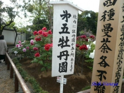 西新井大師夕方の牡丹1