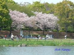 浮間公園の桜1