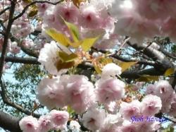 浮間公園の桜3