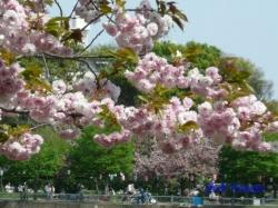 浮間公園の桜4