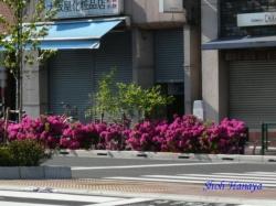 青梅街道・西新宿のツツジ1
