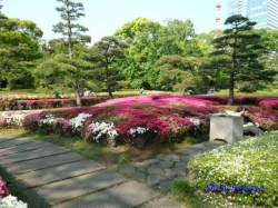 皇居東御苑のツツジ2