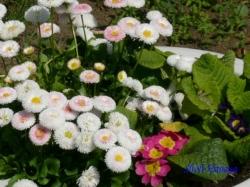 小石川植物園・鉢植えの花