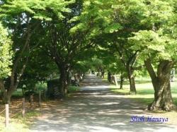小石川植物園・イロハモミジ並木