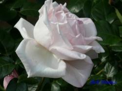 ベルモント公園のバラ1
