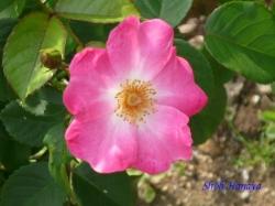 ベルモント公園のバラ2