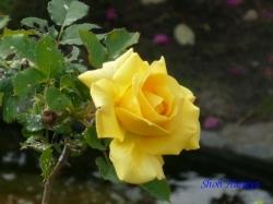 ベルモント公園のバラ4