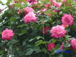 ベルモント公園のバラ5