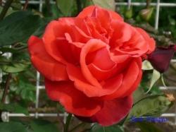 ベルモント公園のバラ6