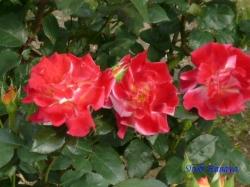 ベルモント公園のバラ7