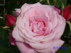ベルモント公園のバラ8