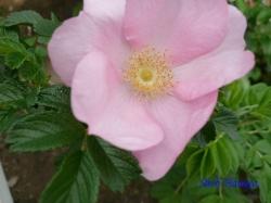 青和ばら公園のバラ1
