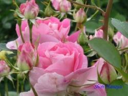 青和ばら公園のバラ2