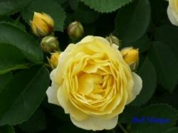 青和ばら公園のバラ3