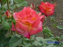 青和ばら公園のバラ4