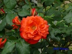 代々木公園のバラ4