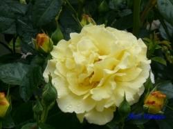 代々木公園のバラ5