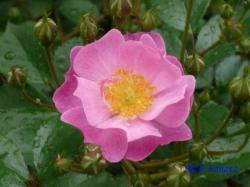 代々木公園のバラ6