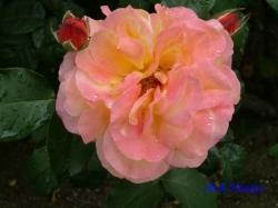 あらかわ遊園のバラ3