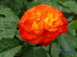 あらかわ遊園のバラ4