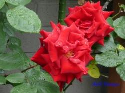 あらかわ遊園のバラ5