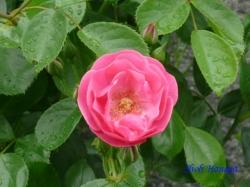 あらかわ遊園のバラ6